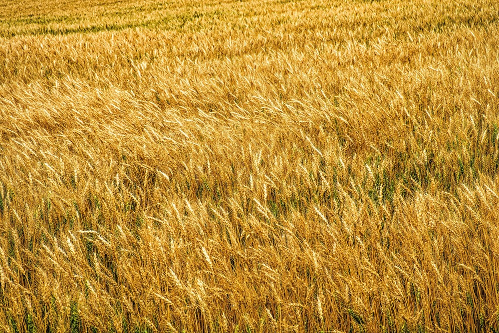 wheat-field